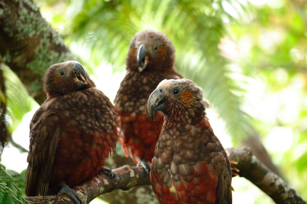 Kaka with two chicks, Wellington, New Zealand by Sam Davis Professional Wildlife Photographer