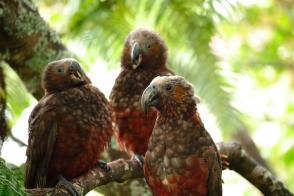 Kaka with two chicks