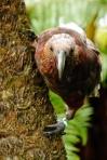 Kaka on a tree, Wellington, New Zealand, by Sam Davis Professional Wildlife Photographer