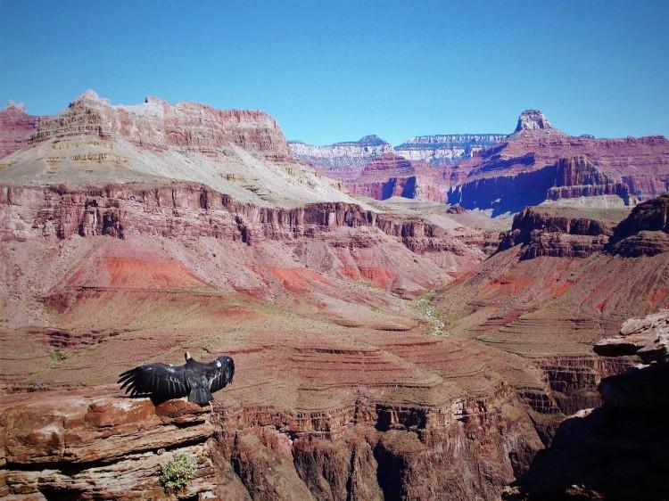 Californian Condor in the Grand Canyon, Arizona, USA by Sam Davis professional photographer. National Park.