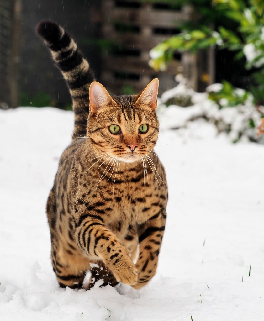 Bengal in the snow by Sam Davis Professional Pet Photographer