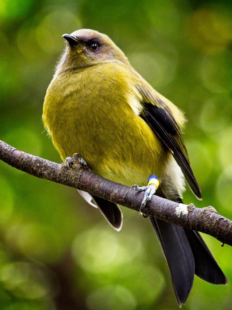 Bell bird, New Zealand, by Sam Davis Professional Wildlife Photographer