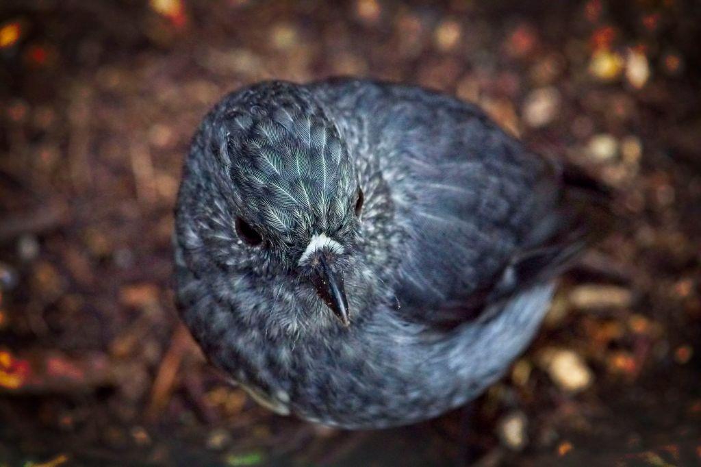 North Island Robin, New Zealand, by Sam Davis Professional Wildlife Photographer