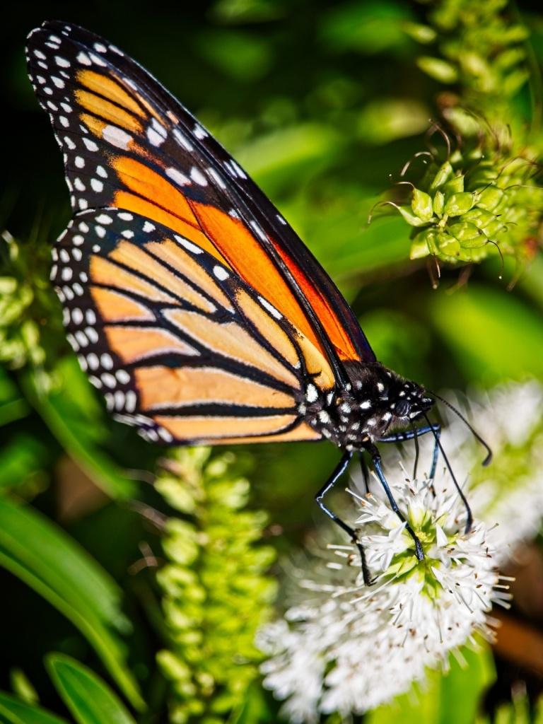 Monarch butterfly, Wellington, New Zealand by Sam Davis Professional Wildlife Photographer