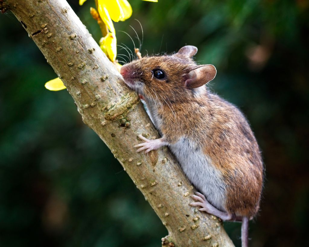 Mouse on a branch by Sam Davis Professional Wildlife Photographer