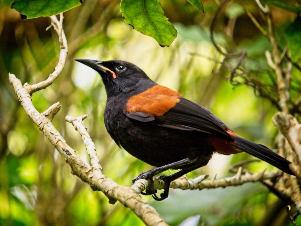 Saddleback, Wellington, New Zealand by Sam Davis Professional Wildlife Photographer