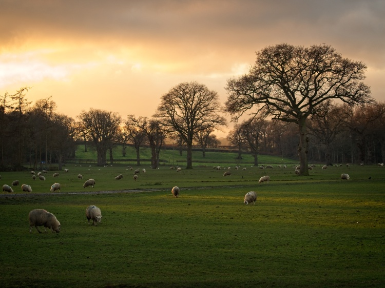 Sheep near Four Crosses, Wales, by Sam Davis Professional Landscape Photographer