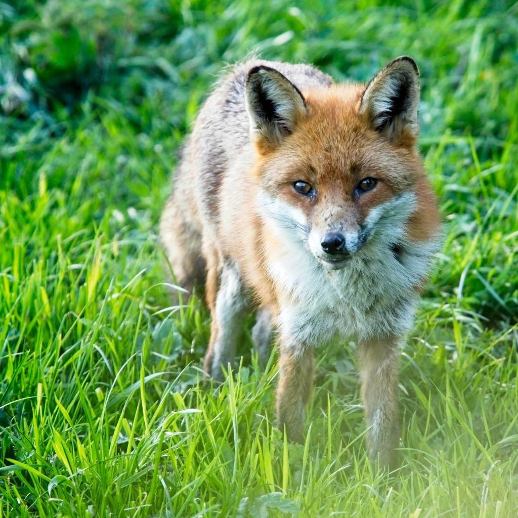 Fox in the Garden, Powys, UK by Sam Davis Professional Wildlife Photographer