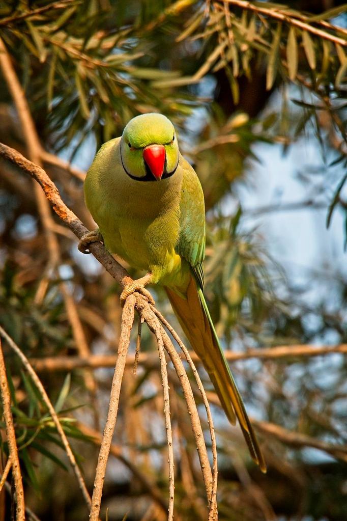 Rose-ringed Parakeet, Delhi, India by Sam Davis Professional Wildlife Photographer