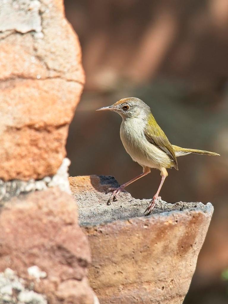 Small bird, India by Sam Davis Wildlife Photographer