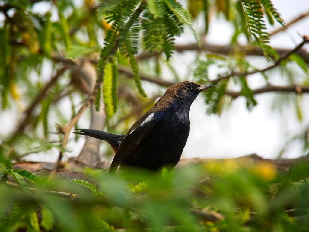 Oriental Magpie Robin, India by Sam Davis Professional Wildlife Photographer