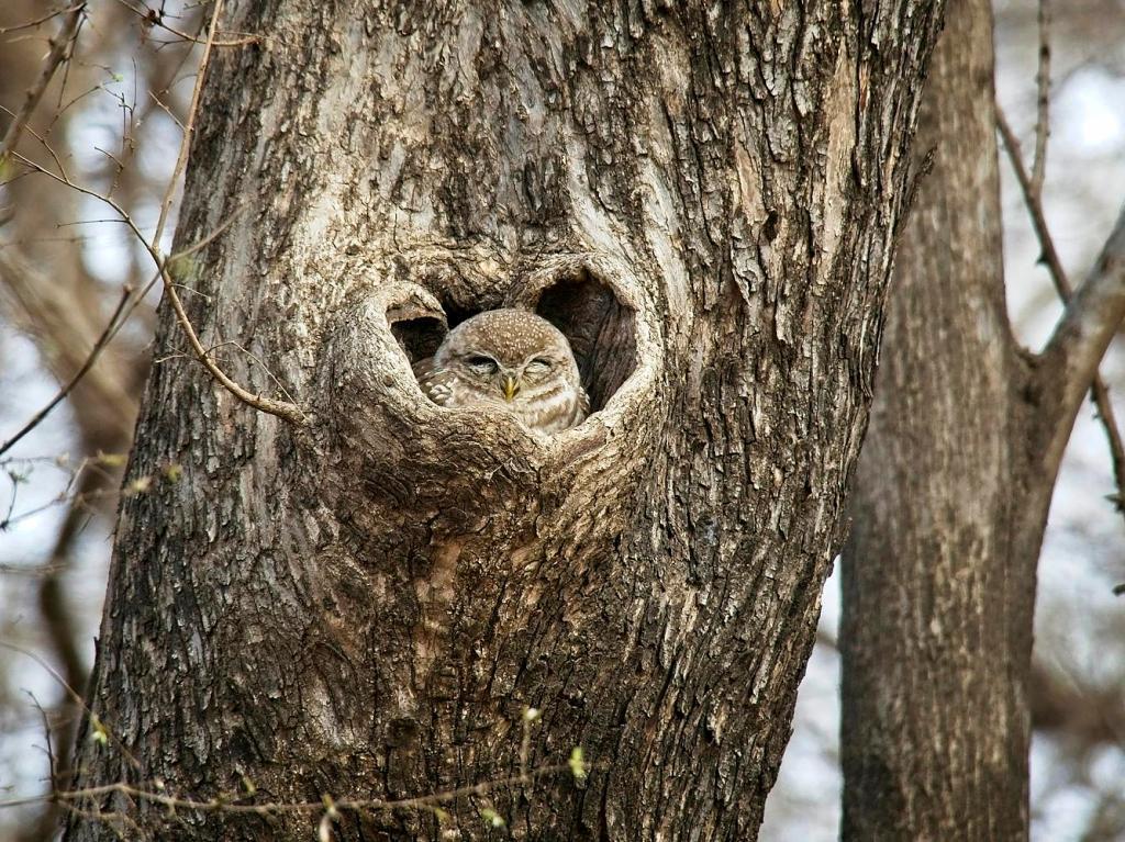 Little Owl, Ranthambore National Park, India by Sam Davis Professional Wildlife Photographer