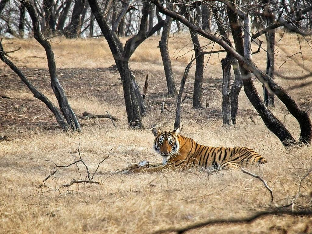 Tiger eating a deer in Ranthambore National Park, India by Sam Davis Professional Wildlife Photographer
