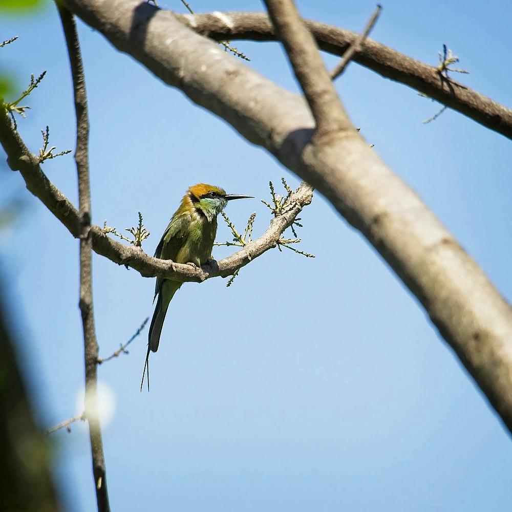 Green Bee Eater, Goa, India by Sam Davis Professional Wildlife Photographer