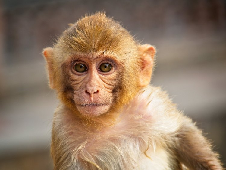Red Faced Monkey at the Monkey Temple, Jaipur, India, by Sam Davis Photographer