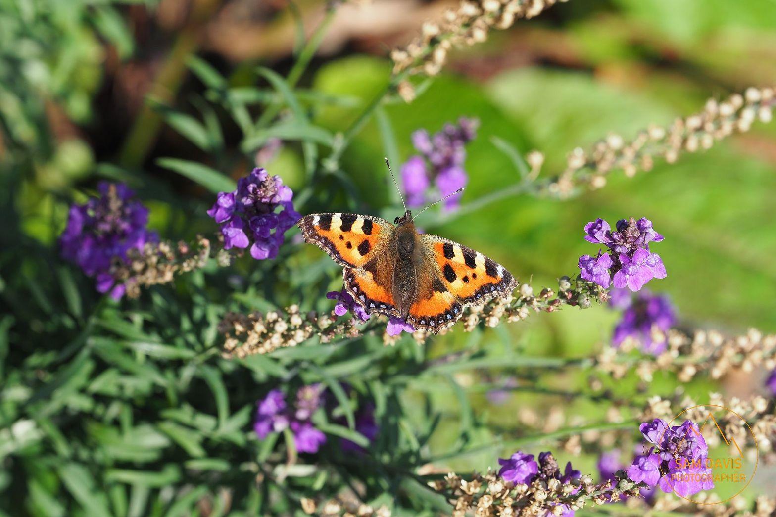 Tortoiseshell Butterfly by Sam Davis Photographer Wildlife Professional