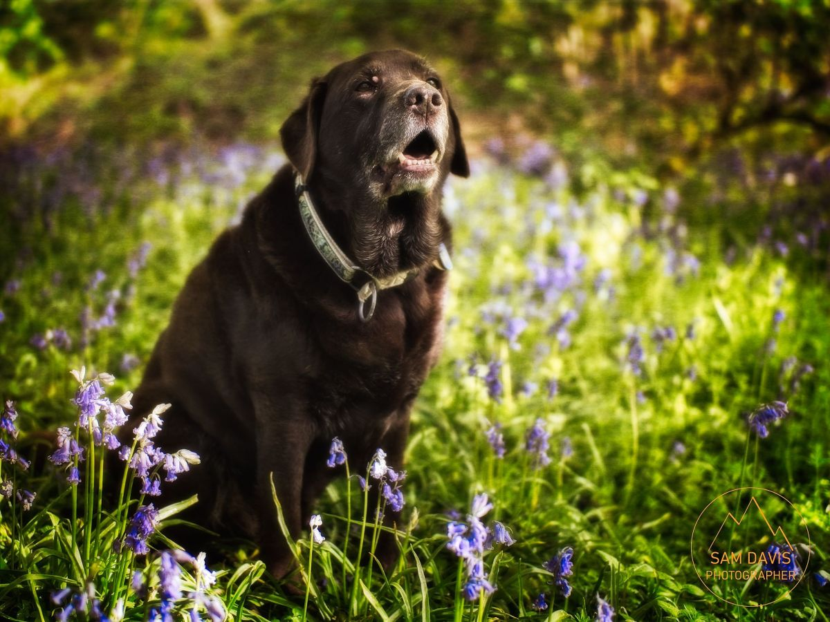 Sam Davis Photographer. Chocolate Labrador with Bluebells. in the woods. Professional photographer. Pet photography.