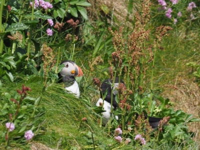 Puffins in Handa island, Scotland by Sam Davis Photographer. Wildlife photography. www.samsphotogallery.com